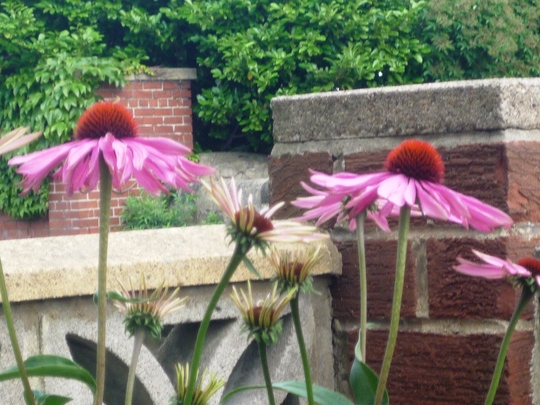 Echinacea  Double Decker  (Echinacea atrorubens (Topeka Purple Coneflower))
