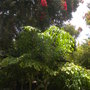 Corymbia ficifolia  - Red Flowering Gum and Caryota uren - Fishtail Palms (Corymbia ficifolia  - Red Flowering Gum and Caryota uren - Fishtail Palms)