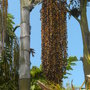 Caryota urens - Fishtail Palm Seeds (Caryota urens - Fishtail Palm Seeds)