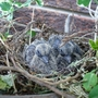 dove chicks