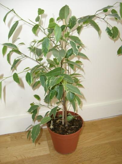 Golden King (Ficus benjamina 'Golden King')