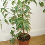 Golden King (Ficus benjamina 'Golden King')