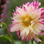 Dahlia 'Pinelands Princess' (Dahlia)