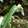 Galanthus Nivalis - double snowdrops