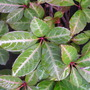 parthenocissus henryana (Parthenocissus henryana (Chinese Virginia creeper))