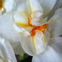 Narcissus Tazetta - Sir Winston Churchill