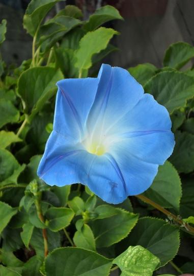 MORNING GLORY (Hydrangea petiolaris (Climbing Hydrangea))