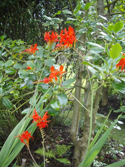 Crocosmia, Lucifer (Crocosmia, Lucifer)