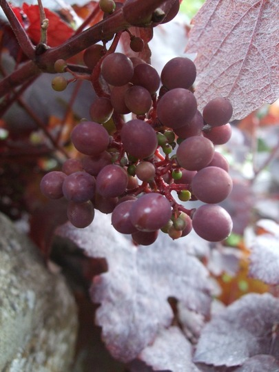 Grapes! (Vitis vinifera 'Purpurea')