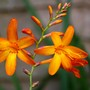 Crocosmia