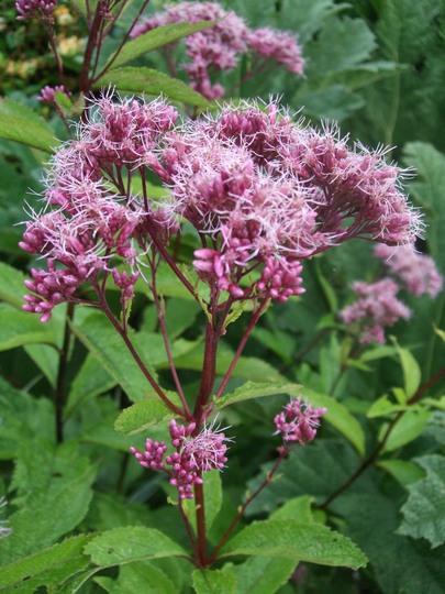 Eupatorium purpureum (Eupatorium purpureum (Purple Joe Pye weed))