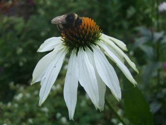 Echinacea & bee (Echinacea purpurea (Coneflower))