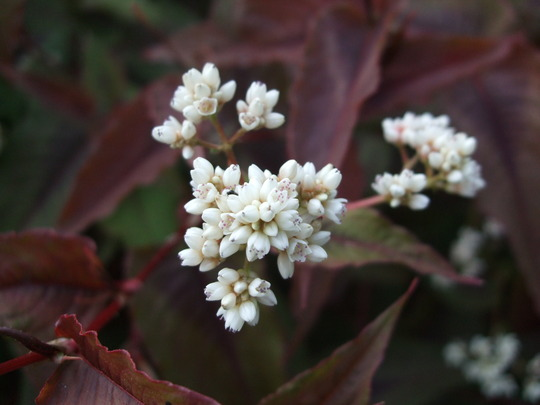 Persicaria flowers (Persicaria 'Red Dragon')