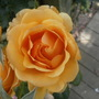 Apricot_Rose_Scented_2_.jpg