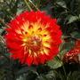 Dahlia_cactus