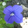 Platycodon_balloon_flower_