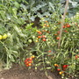 2 tomato plants Glacier (left) and one 100's and 1000's  in the garden - 020810