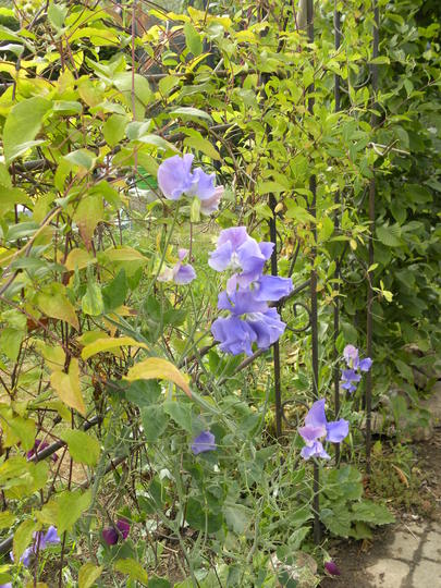 blue sweet peas at rose arch - 290710