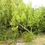 _n_perzik_aan_de_boom_overgebleven_na_storm_etc._290710