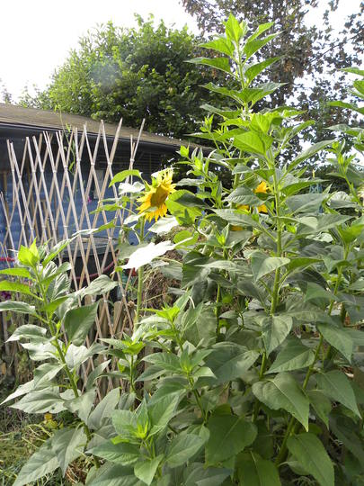 sunflowers to shut out the view of the compost heap - 290710 (Helianthus annuus (Sunflower))