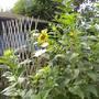 Zonnebloemen_schermen_composthoop_af_290710
