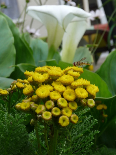 Tansy  (Tanacetum) (Tanacetum vulgare (Common tansy))
