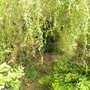 Paardenmest_onder_treurwilg_290710