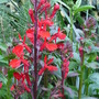 Lobelia - Fan Deep Rose (Lobelia cardinalis (Cardinal flower))