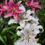 More Lilies...:o)) (Lilium Asiatica)