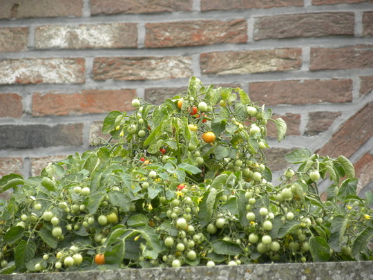 tomato plant 100's and 1000's on the balcony of the study (first floor) seen from below - 080810