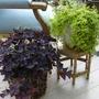 Paarse_plant_oxalis_regnellii_var._triangularis_020810