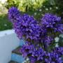 Campanula Glomerata Superba (Campanula glomerata (Clustered bellflower))