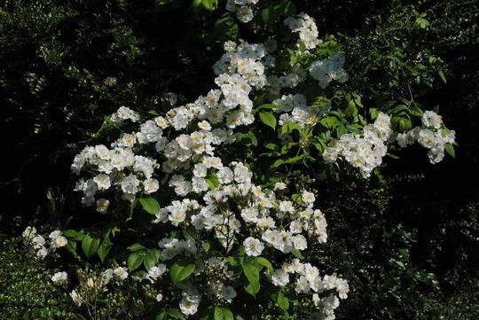 Rambling Rector Rose (Rosa multiflora (Rose))