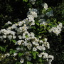Rambling Rector Rose (Rosa multiflora (Rose))