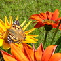 Painted Lady Butterfly on Gazania