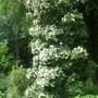 14ft mountain magnolia, halker hall