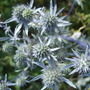 Eryngium planum (Eryngium planum (Sea Holly))