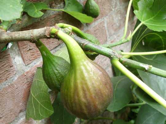 Figs  '  Turkish Brown  '