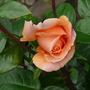 garden_roses_006.jpg