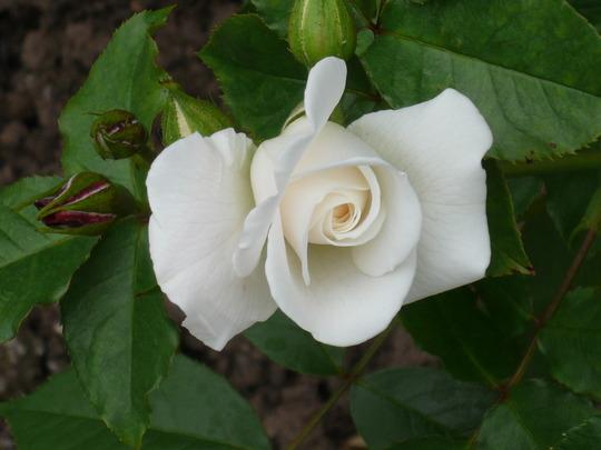 garden_roses_009.jpg