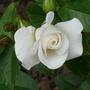 Garden_roses_009