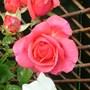 hybrid tea bush rose(whastiluc)