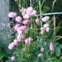 Roses_007