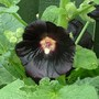 black hollyhock (Alcea rosea (Black Hollyhock))