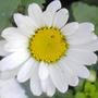 Aster_daisy
