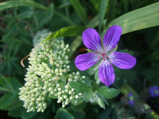 Geranium 'Larch Cottage Velvet' (Geranium)