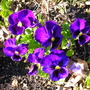 Happy Purple Pansies