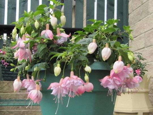 Fuchsia's   Holly's Beauty.