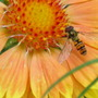 Yet another Hoverfly photo  !