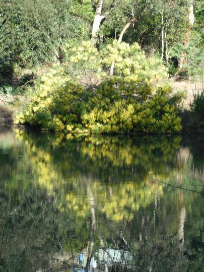 Wattle in the Water, from my blog 'Wind vs Wattles' (Acacia longifolia (Sydney golden wattle))